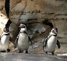 Humboldt Penguin by Henrik Lehnerer