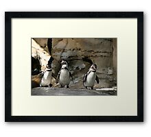 Humboldt Penguin Framed Print
