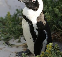 False Bay Penguin South Africa by Ren Provo
