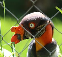 Caged King Vulture Near Cape Town by Ren Provo