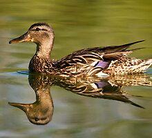 Duck reflection by Eivor Kuchta