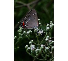 Little Gray Moth Photographic Print