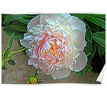 Peony on Canvas Poster