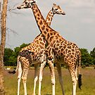 Giraffes at the Branfere Park in Brittany France by Buckwhite
