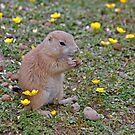 Prairie Dog at Branfere Park in Brittany France by Buckwhite