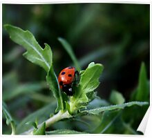 Little Lady Bug Poster