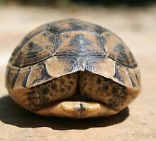 Land Turtle Hiding In Its Shell  by taiche