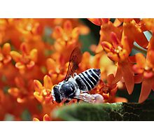 Leaf Cutter Bee Photographic Print