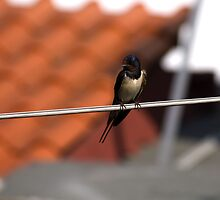 swallow by slavikostadinov