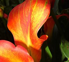 Flame Of The Calla Lily by WildestArt