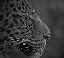 African Leopard Portrait by JMChown