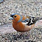 Chirpy lil' Chaffinch by David Brandon