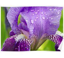 Wet Purple Bearded Iris in the Backyard Garden Poster