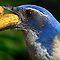 (Birds Category) - Family - Covids - Crow Family