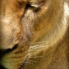 Columbus, OH: Sleepy Lioness by ACImaging