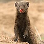 A Dwarf Mongoose with personality! by jozi1
