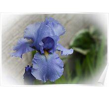 Irridescent Iris !  Poster