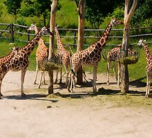 Giraffes - Prague Zoo, Prague, CZ by Josef Pittner