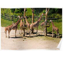 Giraffes - Prague Zoo, Prague, CZ Poster
