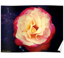 Doubly Delightful Rose Poster