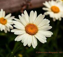 Daisy by Sharie Falan