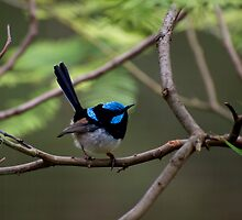 Superb Fairy Wren by GP1746