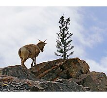 Young Mr Goat, Jasper National Park Photographic Print