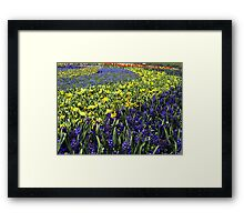 Yellow & Blue spectacle at Floriade, Canberra Framed Print