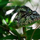Male  Furcifer oustaleti - chameleon -  Ifaty  SW  Madagascar by john  Lenagan