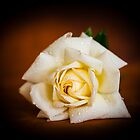 White Rose by mlphoto