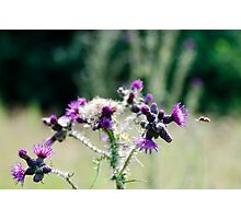 Wild thistle being approached by a bee Photographic Print