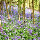 Bluebell Woods by Stuart  Gennery