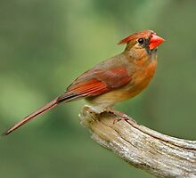 Sitting Pretty - Female Northern Cardinal by Janice Carter