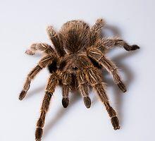 Tarantula by MarkElsworthPic