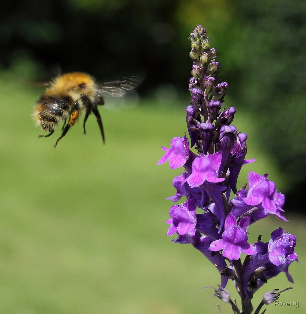 """"""" Bumble Airways. On final approach. Landing in two seconds. """" by Poverty"""