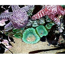 Seastar and Anemone at Low Tide Photographic Print