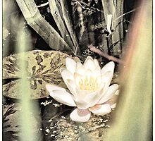 Water Lily by fraser68