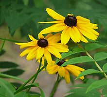 Brown-Eyed Susans by Bill Shuman