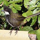Eastern Whipbird by triciaoshea