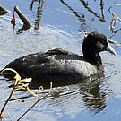Eurasian Coot by triciaoshea