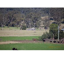 Dairy Shed & Cattle, Vacy, NSW Australia Photographic Print