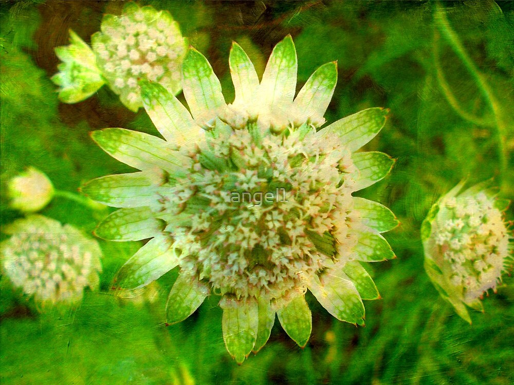 Textured Astrantia by ©The Creative  Minds