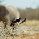 Drongo in Etosha by Martina  Stoecker