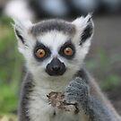 Ring-tailed lemur (Lemur catta)  by DutchLumix