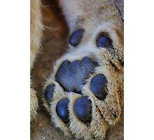 lion's paw Photographic Print
