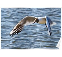 Black-headed Gull Poster
