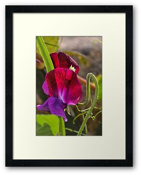 My First Sweet Pea by lynn carter