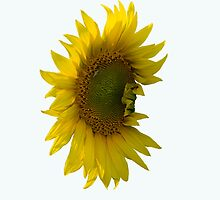 sunflower by slavikostadinov
