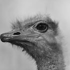Ostrich by ChrisMillsPhoto