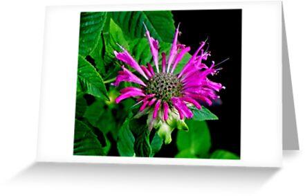 Purple Bergamot ! by Elfriede Fulda